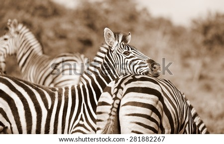 A herd / dazzle of Burchells zebra, in this beautiful landscape photo with golden morning light and one zebra peeking at us,taken in Addo Elephant national park, eastern cape,south africa - stock photo