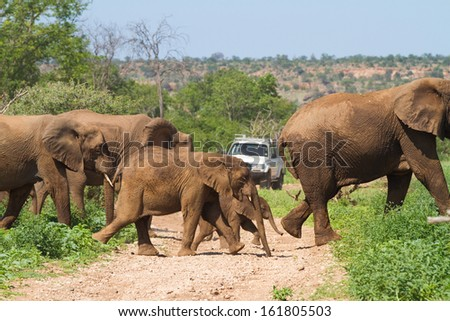 A herd of African elephants cause a unique traffic jam by holding up a white four wheel drive vehicle in South Africa's Mapungubwe National Park - stock photo