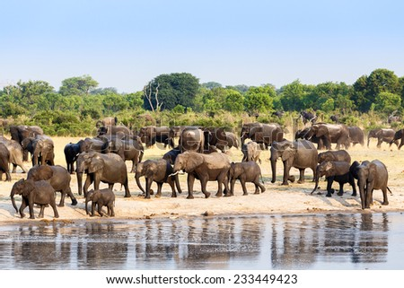 A herd of African elephants drinking at a muddy waterhole, Hwange national Park, Zimbabwe. True wildlife photography - stock photo