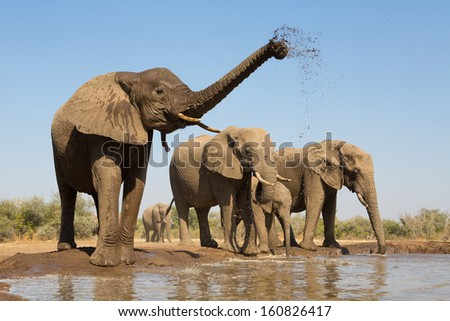 A herd of African elephants drinking at a muddy waterhole in Botswana - stock photo