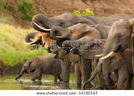 A herd of African elephants drinking at a waterhole lifting their trunks at the same time - stock photo
