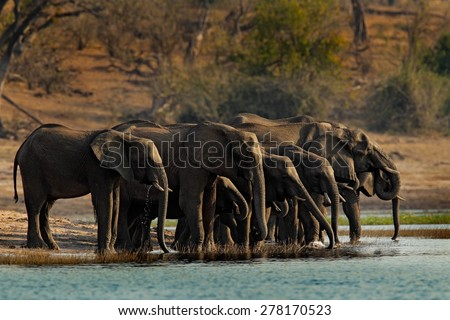 A herd of African elephants drinking at a waterhole lifting their trunks, Chobe National park, Botswana, Africa - stock photo