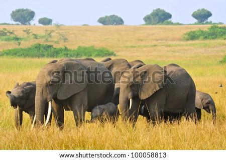 A herd of African Elephants in Queen Elizabeth National Park, Uganda - stock photo