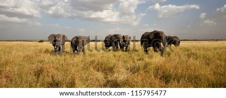 A Herd of African Elephants move across the savanna. Serengeti National Bank. - stock photo