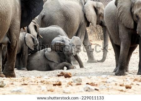 A herd of African elephants, small elephant playing and drinking at a muddy waterhole, Etosha national Park, Ombika, Kunene, Namibia. True wildlife photography - stock photo