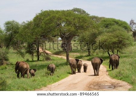 A herd of african elephants walking away from the camera in a straight line in Tarangire National Park, Tanzania - stock photo