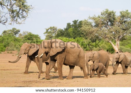 A herd of african elephants walking behind each other - stock photo