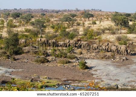 A herd of African elephants walking in a line - stock photo