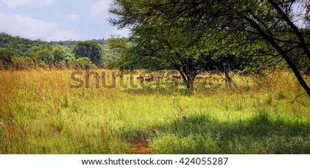 A herd of beautiful shy springboks (gazelles) graze at a meadow and hide in a high grass of African savannah. Amazing wildlife of South African National Parks and Natural Reserves.  - stock photo
