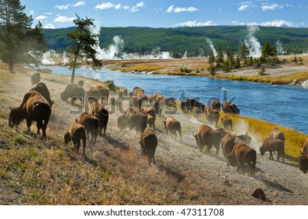 A herd of bison moves quickly along the Firehole River in Yellowstone National Park (near Midway Geyser Basin). - stock photo