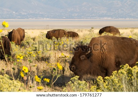 A herd of Bison or Buffalo graze in a flowery field in Antelope Island State Park in Utah - stock photo
