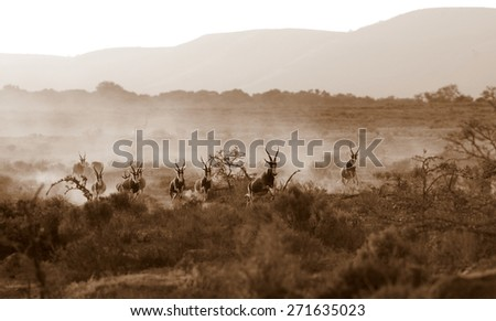 A herd of Blesbuck with a misty mountain background. All running and stampeding while two cheetah chase them Taken in South Africa.  - stock photo