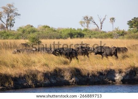 A herd of buffalo making their way along the water's edge in the Linyanti swamps - stock photo