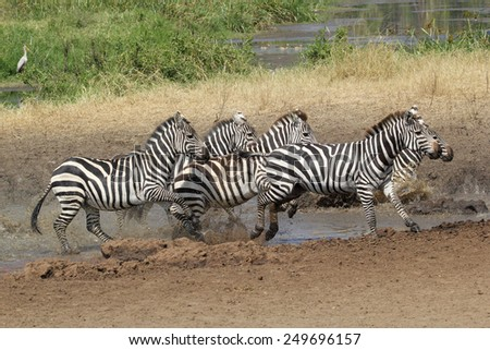 A herd of common zebras, Equus Quagga, near a water hole in Serengeti National Park, Tanzania - stock photo