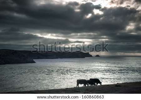 A herd of cows grazing on the Pembrokeshire coast with a dark brooding sky - stock photo