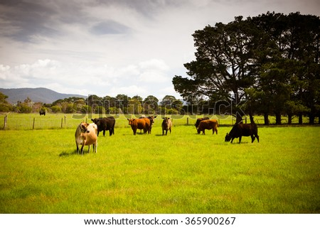 A herd of cows in a lush green paddock near Clarkefield in Victoria, Australia - stock photo