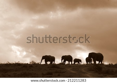 A herd of elephant against a perfect South African sunset sky. - stock photo