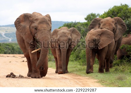 A herd of elephant coming onto the road. - stock photo