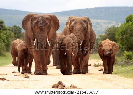 A herd of elephant on the move and walking towards the camera. South Africa - stock photo