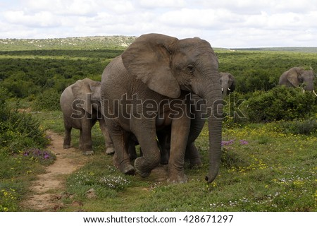A herd of elephant walk towards the camera.Taken in Addo Elephant National Park, South Africa - stock photo