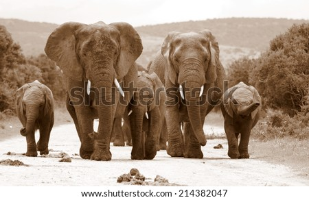 A herd of elephant walking towards the camera in this sepia tone image. - stock photo
