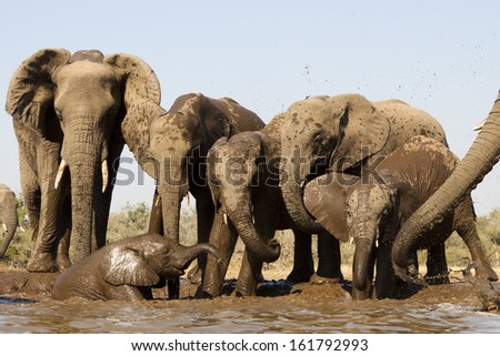 A herd of elephants at a watering hole - stock photo