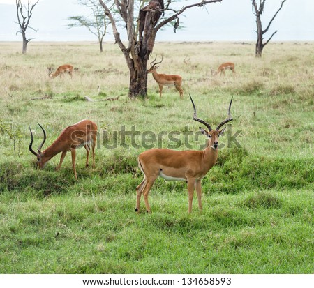 A herd of gazelles in the Lake Nakuru National Park - Kenya, Eastern Africa - stock photo