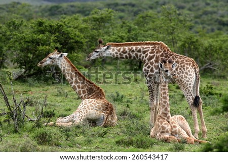 A herd of Giraffe with a baby giraffe calf - stock photo