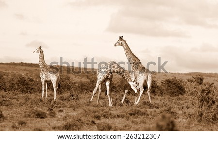 A herd of Giraffe with two males neck fighting in this sepia tone image. soft focus - stock photo