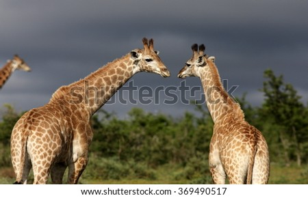 A herd of Giraffe, with two younger giraffe sharing a tender moment. South Africa - stock photo