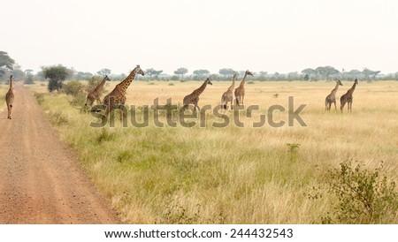 A herd of giraffes (Giraffa camelopardalis) are walking near a road in Serengeti National Park, Tanzania - stock photo