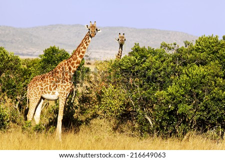 A herd of giraffes (Giraffa camelopardalis) on the Maasai Mara National Reserve safari in southwestern Kenya. - stock photo