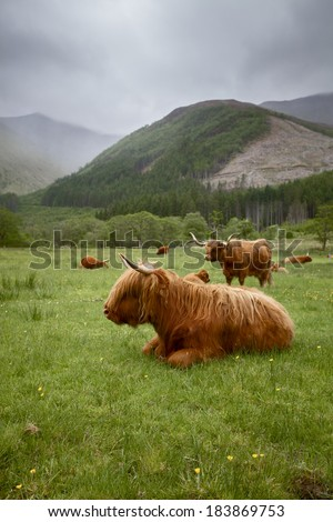 A herd of Highlander Cows laying on a meadow somewhere in the Scottish Hills - stock photo