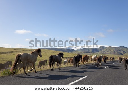 A herd of Icelandic horses galloping down a road towards fields and mountains, illuminated by golden evening light. Shot on location in Iceland. - stock photo