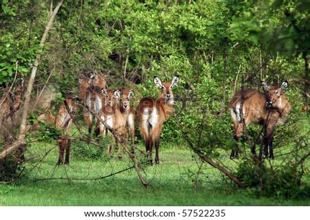 A herd of kob in Mole NP in Ghana - stock photo