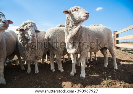 A herd of sheep on the farm, sunny autumn day - stock photo