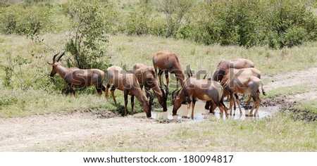 A herd of Topi antelopes drinking water - stock photo