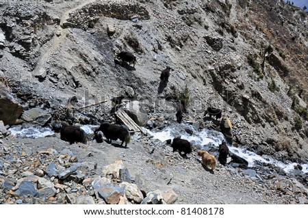 A herd of yaks on watering place, Nepal - stock photo