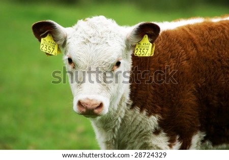 A hereford calf looking right at the camera. - stock photo