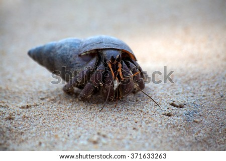 A  hermit crab crawls in the sand of the beach on the tropical island Sri Lanka in the Indian Ocean in Asia - stock photo