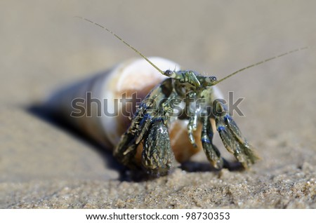 A hermit crab with a sea shell on the beach. - stock photo