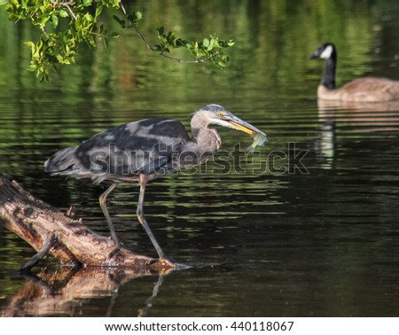 a heron in a local wildlife sanctuary park catching a fish with a canadian goose swimming  in the background  - stock photo