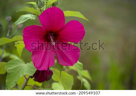 A hibiscus flower with copy space to the right - stock photo