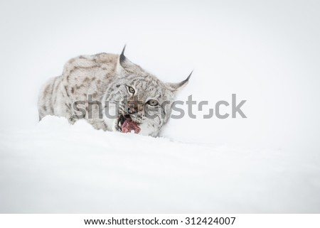 A high key image of a Eurasian Lynx lying in the snow eating while  looking at the camera. - stock photo