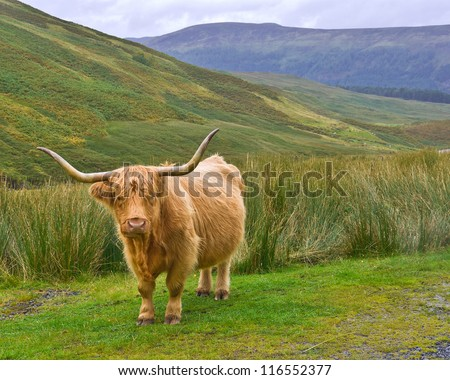 A Highland cow with shaggy golden hair and long horns stands on a patch of grass on a hillside in Glen Lyon, Scottish Highlands. Long horned Highland Cattle are a breed native to Scotland. - stock photo