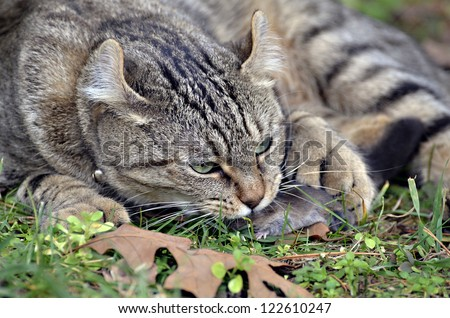 A Highland Lynx cat that has caught a mole and is protecting his prey. - stock photo