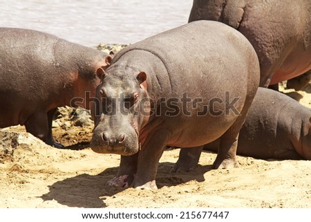 A hippo (Hippopotamus amphibius) on the Masai Mara National Reserve safari in southwestern Kenya. - stock photo