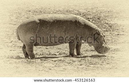 A hippos grazing on the banks of the Chibo river (national reserve) - Botswana, South-Western Africa (stylized retro) - stock photo