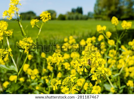 A honey bee collects nectar from yellow blooming charlock at the edge of a Dutch nature reserve on a sunny day in the springtime season. - stock photo