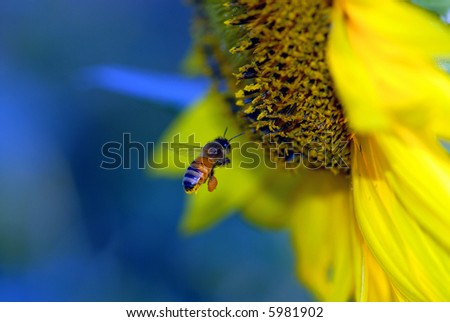 A honey bee is on course to land on a bright yellow sunflower. - stock photo